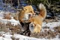 Картинка зима, природа, лисы