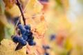 Картинка макро, природа, виноград