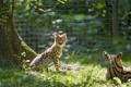 Картинка лето, трава, солнце, детёныш, котёнок, сервал, ©Tambako The Jaguar