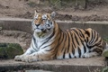 Картинка лежит, дикая кошка, отдых, хищник, тигр
