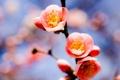 Картинка небо, ветка, весна, абрикос, три цветка