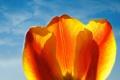 Картинка цветок, небо, тюльпан, лепестки