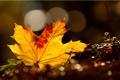Картинка макро, лист, блики, кленовый, жёлтый