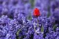 Картинка поле, макро, цветы, красный, природа, поляна, тюльпан