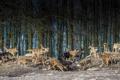 Картинка волки, деревья, стая