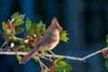 Картинка ягоды, птица, ветка, клюв, хвост, кардинал