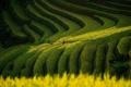 Картинка поле, природа, растения, Азия, плянтация