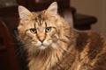 Картинка кот, морда, мейн-кун, взгляд, кошка