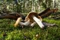 Картинка лес, природа, обои, грибы, мох, еда, утро