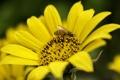 Картинка цветок, лето, желтый, пчела