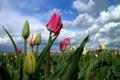 Картинка поле, небо, облака, тюльпаны