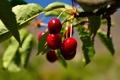 Картинка лето, природа, дерево, листва, спелая черешня