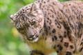 Картинка морда, хищник, ирбис, снежный барс, snow leopard, uncia uncia, обои 4х3