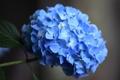 Картинка макро, голубой, лепестки, гортензия