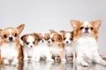 Картинка семья, щенки, чихуахуа, милые