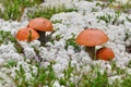 Картинка грибы, мох, подосиновики