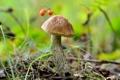 Картинка подберёзовик, лес, грибы, природа
