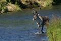 Картинка трава, река, фото, олень