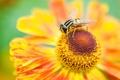 Картинка цветок, макро, пчела, лепестки, насекомое