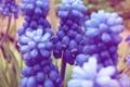 Картинка лето, цветы, синее, мускари