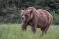 Картинка природа, Bear, Grizzly