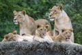 Картинка язык, кошки, камень, семья, львята, львица, зевает