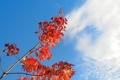Картинка осень, небо, листья, облака, ветка
