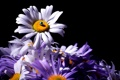 Картинка хризантемы, бусинка, темный фон, цветы