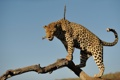 Картинка бревно, дикая кошка, хищник, небо, леопард