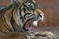 Картинка язык, морда, тигр, хищник, лапы, пасть, клыки