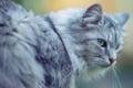 Картинка кот, серый, пушистый, большой