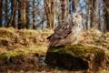 Картинка сова, камень, мышь, добыча, трофей