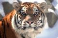 Картинка кошка, взгляд, морда, тигр, амурский