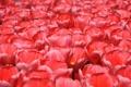 Картинка поле, цветы, лепестки, луг, тюльпаны