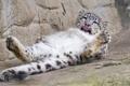 Картинка язык, кошка, отдых, лапы, ирбис, снежный барс, ©Tambako The Jaguar