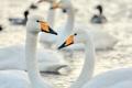 Картинка вода, птицы, лебеди
