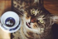 Картинка кошка, взгляд, стол, чашка, смотрит, блюдце