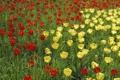Картинка лето, желтые, сад, тюльпаны, красные