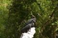 Картинка птицы, природа, ибисы, up on a tree trunk, black ibis