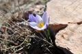 Картинка цветы, весна, крокус, Подснежники