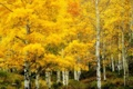 Картинка природа, берёзовая роща, золотая, осень