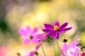 Картинка свет, цветы, лепестки, размытость, розовые, боке, Космея