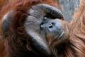 Картинка взгляд, обезьяна, Orangutan