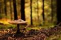 Картинка лес, гриб, Природа