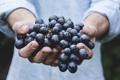 Картинка красный, руки, урожай, виноград, кисть, сладкий, сочный