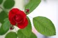Картинка Flower, Rose, Rot