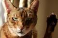 Картинка кот, морда, солнце, лапа, фокус, котэ