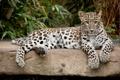 Картинка кошка, камень, леопард, персидский