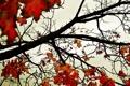 Картинка осень, небо, листья, обои, красно-желтые, ветви, клён