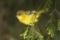Картинка птица, ветка, желтая птичка